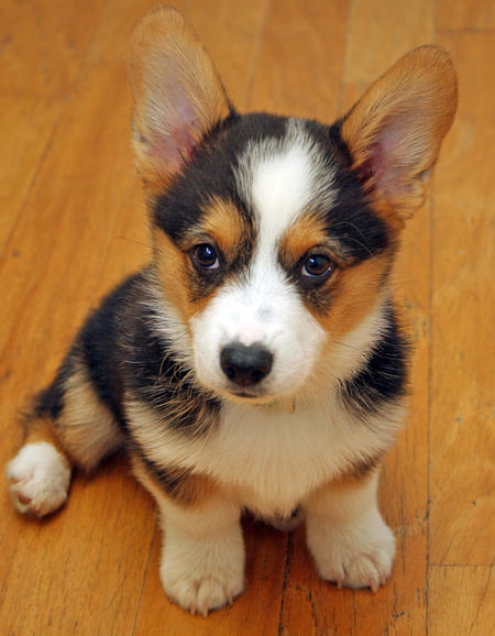 miles-the-pembroke-welsh-corgi-3_65744_2012-05-08_w450